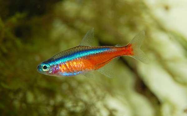 Neon Fisch